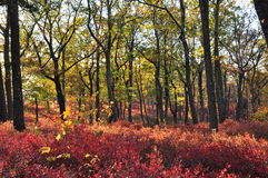 Red & yellow foliage colors on New Jersey hills at sunset Royalty Free Stock Image