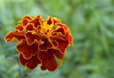 Red yellow French marigold or Tagetes patula flower in summer garden. Bright floral background with copy space.DOF royalty free stock image