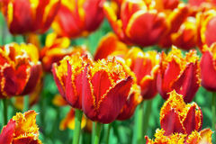 Red and yellow fringed tulips. Flower bed of bright vivid red and yellow Fringed Tulips in Spring Royalty Free Stock Photography