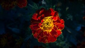 Red and Yellow Full Bloomed Flower royalty free stock photo