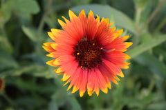 Red and Yellow Gaillardia Flower. Bloom royalty free stock image