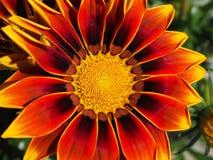 Red and Yellow Gazamia Flower Stock Photo