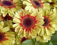 Red and yellow Gerber daisies Stock Photography