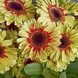 Red and yellow gerber daisies, floral background. Pale red and yellow gerber daisies bunch top view, floral background royalty free stock photo