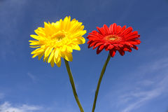 Red and yellow gerbera on blue sky Royalty Free Stock Photo