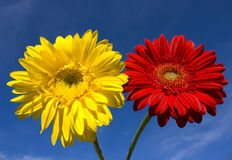 Red and yellow gerbera on blue sky Royalty Free Stock Photography