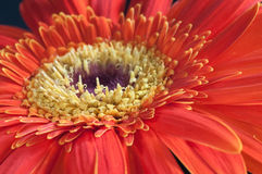 Red and yellow Gerbera flower close up Royalty Free Stock Photography