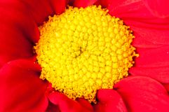 Red and yellow Gerbera flower macro shot Royalty Free Stock Images