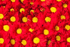 Red and yellow Gerbera flowers backround Stock Image