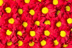 Red and yellow Gerbera flowers backround Royalty Free Stock Photography