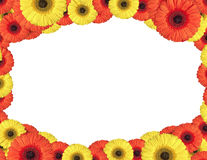 Red and yellow gerbera flowers create a frame on white Stock Image