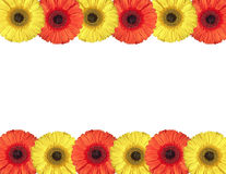 Red and yellow gerbera flowers create a frame on white Royalty Free Stock Photography