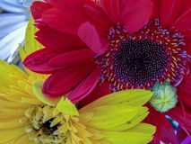 Red and yellow gerbera flowers stock photography