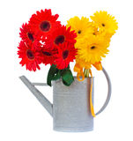 Red and yellow gerbera flowers in watering can Stock Photo