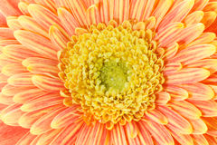 Red and yellow gerbera macro Stock Photos