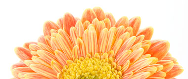 Red and yellow gerbera macro. Macro image of a gerbera flower in red and yellow. Isolated on white Royalty Free Stock Photo