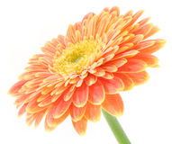 Red and yellow gerbera macro Stock Image