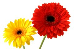 Red and yellow gerbers royalty free stock images
