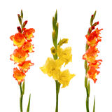 Red and yellow gladiolus Stock Photo