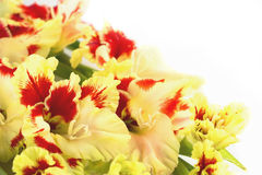 Red and yellow gladiolus  horizontal  isolated Stock Photos