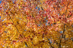 Red, Yellow, and Golden Maple Tree Royalty Free Stock Photo