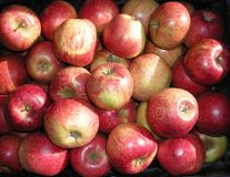 Red  yellow green apples jonagored in the box. Rape fruit. Apple production. Background texture. Royalty Free Stock Photo