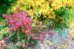Red, yellow and green autumn bushes. Horizontal. Stock Photography