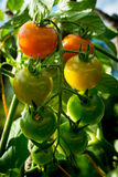 Red, yellow and green cherry tomatoes in the garden.  royalty free stock photos