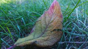 Red yellow green leaf lying on the green grass. At the leaf tip is red, closer to the middle of the leaf is more green, there is a little purple color. The royalty free stock photography