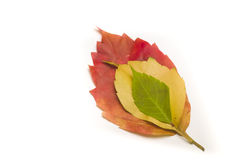 Red, yellow and green leaves. Autumn colorful leaves isolated on white Stock Photo