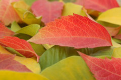 Red, yellow and green leaves of Autumn Stock Images