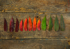 Red, yellow and green leaves on old wooden background Royalty Free Stock Photos
