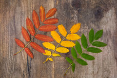 Red, yellow and green leaves of rowan lying diagonally on a wood Royalty Free Stock Images