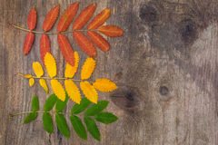 Red, yellow and green leaves of rowanon a wooden board. Red, yellow and green leaves of rowan lying horizontally on a rough wooden board with knots Royalty Free Stock Image