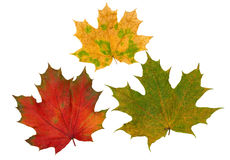 Red, yellow and green maple leaves. Isolated on white background Royalty Free Stock Photos