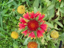 Better known as the Blanket Flower, this is a Galliardia plant. This red and yellow hardy plant is called a Blanket Flower but its true name is Galliardia stock image