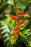 Red and Yellow Heliconia Royalty Free Stock Image