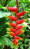 red-and-yellow heliconia Stock Photography