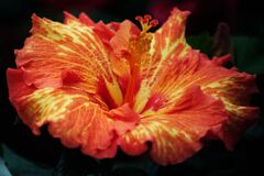 red-and-yellow hibiscus Stock Image