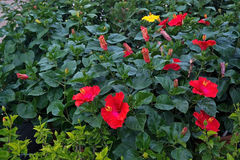 Red yellow hibiscus flowers. Hibiscus sinensis closeup, Mallorca in January Stock Photos