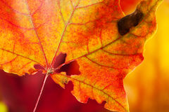 Red-yellow holey maple leaf Stock Photos