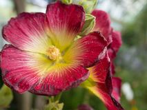 Red and yellow hollyhock flower blooming in the garden royalty free stock photos