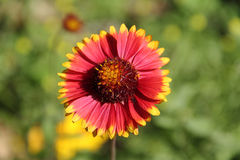 Red and yellow Indian Blanket flower. Dark red blanket flower is blooming with green background. Captured under the natural environment Royalty Free Stock Photos