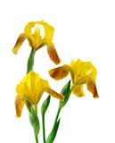 Red Yellow Iris Royalty Free Stock Image