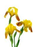 Red Yellow Iris Royalty Free Stock Image