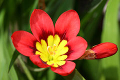 Red-yellow Ixia flowers Royalty Free Stock Images