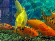 Japanese gold koi carps in aquarium stock image