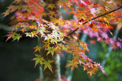 Red and yellow Japanese maple leaves during autumn in Kyoto, Royalty Free Stock Images