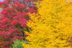 Red and yellow Japanese maple trees Royalty Free Stock Images