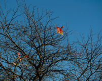 Red and Yellow Kite. Kite caught in a leafless tree Royalty Free Stock Images